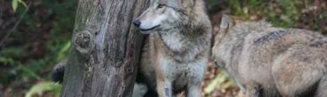 La oficina nacional de la caza rechaza la validez de un supuesto censo del lobo elaborado por organizaciones anticaza