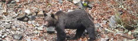 Más de 4.000 cazadores colaboran en los trabajos de recuperación del oso pardo, que ha triplicado su población en dos décadas