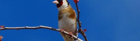 Científicos universitarios usan con muy buenos resultados las modalidades tradicionales de caza en la Comunidad Valenciana como herramientas de investigación, seguimiento y conservación de aves