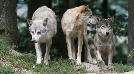 El acoso al lobo es el grave drama de esta especie
