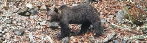 La ONC lamenta la muerte del oso hallado en Asturias y exige a las autoridades que se investiguen las causas con el fin de seguir apoyando la recuperación de la especie