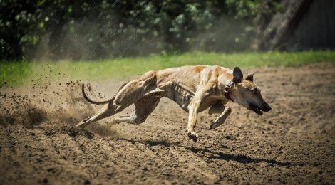 LA ONC CONDENA LA AGRESIÓN A UN GALGUERO EN TOLEDO Y RECLAMA QUE LA JUSTICIA ACTÚE CON SEVERIDAD PARA FRENAR DE INMEDIATO LAS AGRESIONES ANIMALISTAS