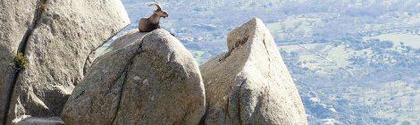 Un nuevo vídeo de la Fundación Artemisan denuncia daños irreparables en Guadarrama por la sobrepoblación de cabra montés
