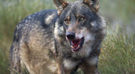 Fundación Artemisan defiende la Estrategia Nacional de Conservación del Lobo ibérico, avalada por la expansión de esta especie