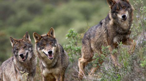 La ONC reclama a la Junta de Castilla y León que resuelva urgentemente la situación generada por la suspensión judicial de la caza del lobo