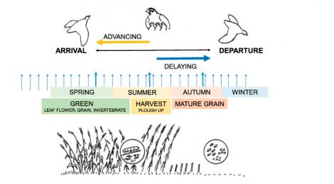 Sincronizar los ciclos biológicos como clave para la superviviencia bajo un escenario de cambio global: La estrategia de la Codorniz Común