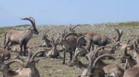 ARTEMISAN presenta al TSJ de Madrid un informe pericial que avala la necesidad de controlar la población de cabra montés en Guadarrama