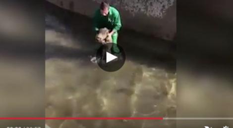 La Real Federación Española de Caza condena el ahogamiento intencionado de un jabalí en una acequia