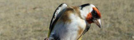 Datos de SEO Birdlife demuestran la incoherencia del Consell al negar las pruebas para legalizar el Parany